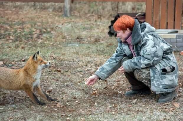 Лис Патрикей - звезда заповедника Брянский лес