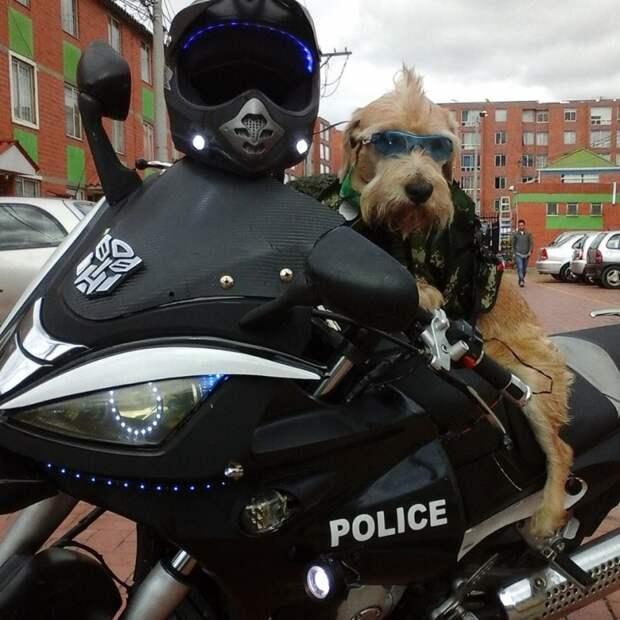 Бродячая собака устроилась на работу в полицию Колумбии