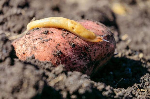 Карто-о-ошечка - настоящий пир...