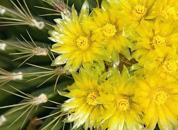 Кактусы уход, кактусы цветение, ферокактус, Ferocactus