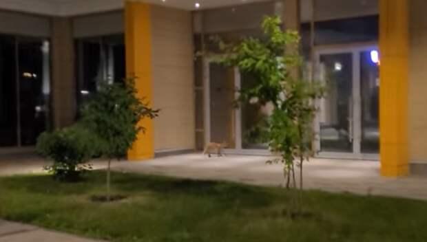 Жилой квартал на Лазоревом проезде по ночам инспектируют лисы