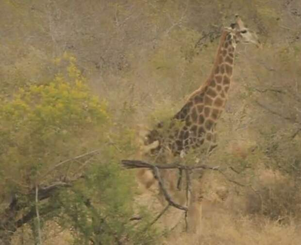 Жираф отбился от восьми голодных львиц