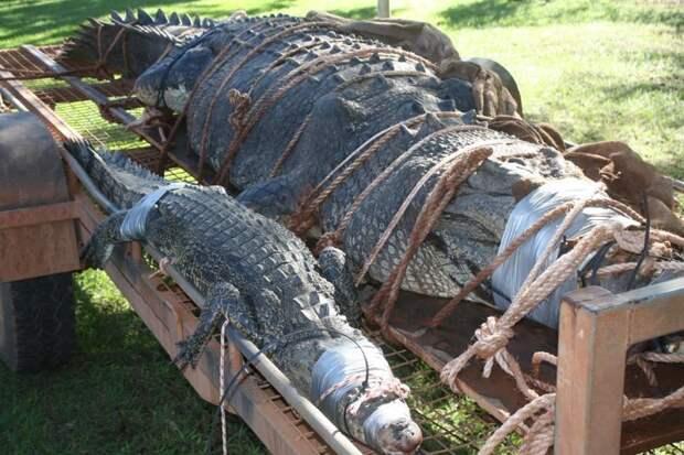 Хищника поймали в реке Кэтрин в 60 км от одноименного города Северная территория, австралия, животные, крокодил, охота, река, хищник
