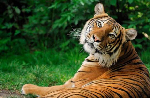 В Московском зоопарке появились два годовалых амурских тигра