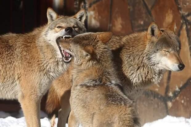 Ужасные волки оказались не братьями современным волкам