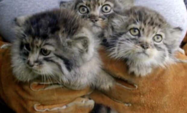 Фермер взял 4 котят из сарая: через год оказалось, что они манулы