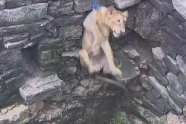 Львица упала в колодец и люди рискуя жизнью пришли на помощь