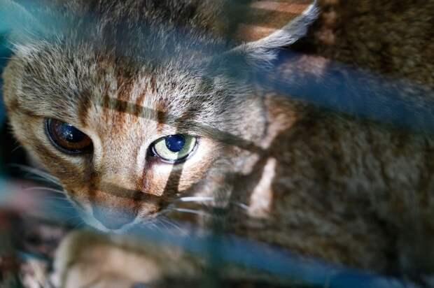 Учёные обнаружили новый вид кошки