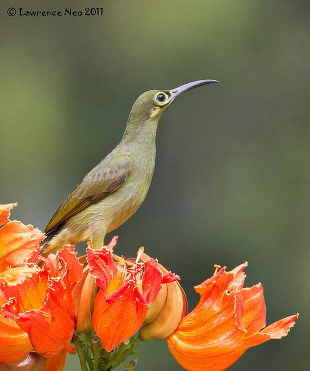 Фотографии птиц Lawrence Neo