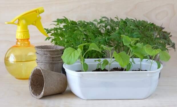 Выращиваем рассаду правильно: об этом должен знать каждый огородник!