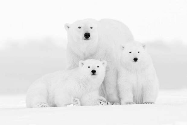 ФОТОВЫСТАВКА. Kyriakos Kaziras: полярные медведи
