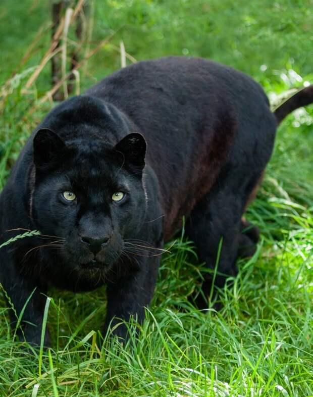 В Полтавской области на мужчину напала пантера