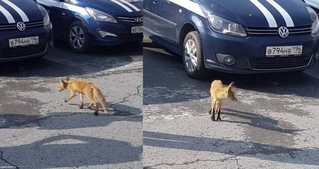 В центре Екатеринбурга полицейские поймали маленького лисенка