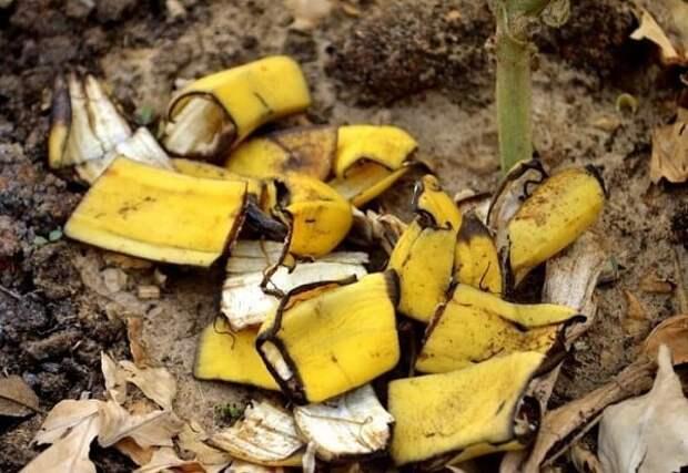Чeм накормить муравьиный отряд, чтобы его уничтожить? Бананом, простым банaном