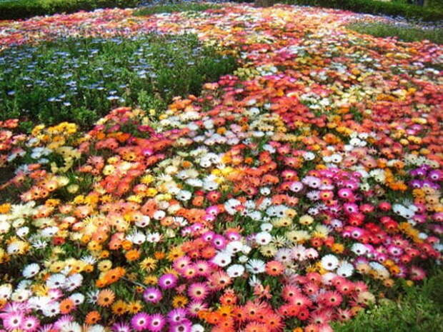 Мезембриантемум или «хрустальная ромашка» цветок, дарованный богом».