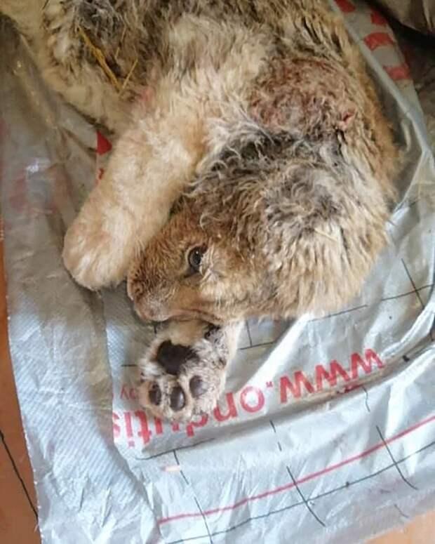 Как спасали львенка Симбу, которому хозяева сломали лапы, чтобы онфотографировался стуристами