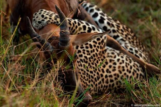 Охота леопарда