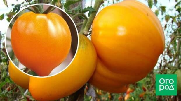 Сорт томатов Золотые купола