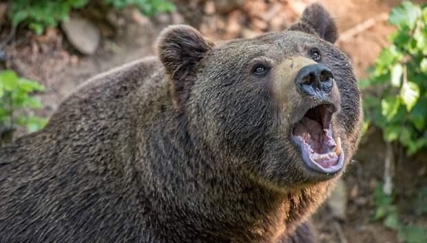Медведи в Подмосковье раздражены из‑за теплой погоды и не могут залечь в спячку