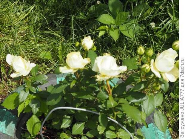 Для роз настойка-болтушка от тли и цветочной мушки