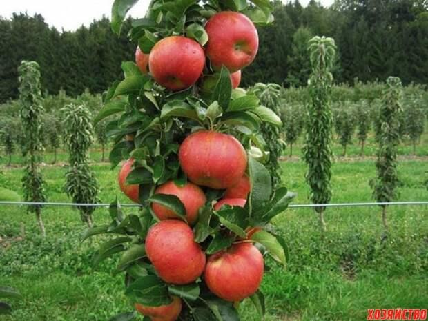 Особенности выращивания колонновидных яблонь