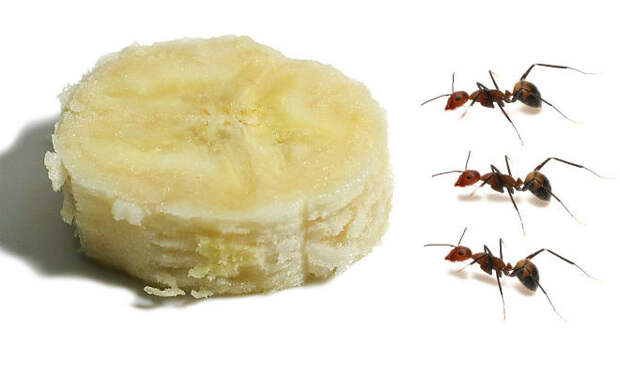 За сколько муравьи съедят банан