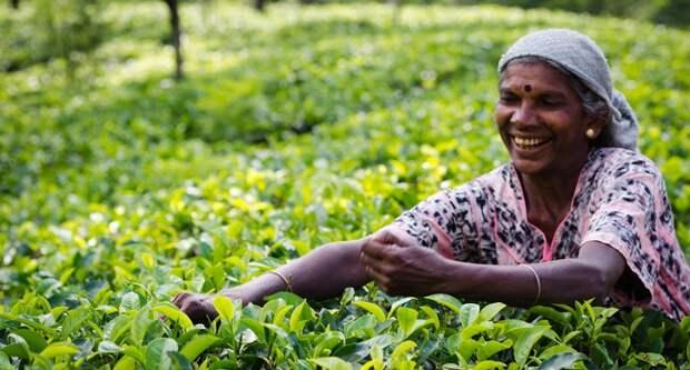 Блог Павла Аксенова. Анекдоты от Пафнутия. Сбор чая в холмистой местности Шри-Ланки. Фото Iryna_Rasko - Depositphotos