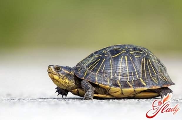 черепахи домашние уход