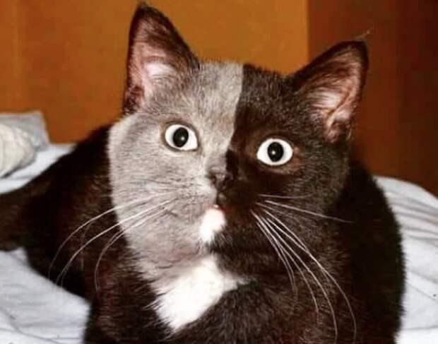 Двуликий кот: редчайшее чудо природы