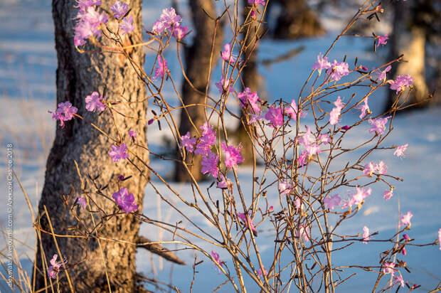 Потрясающие фотографии цветения багульника в марте!