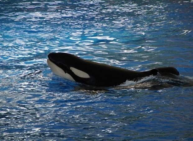 Отловщики объяснили детские экскурсии в «китовую тюрьму» в Приморье