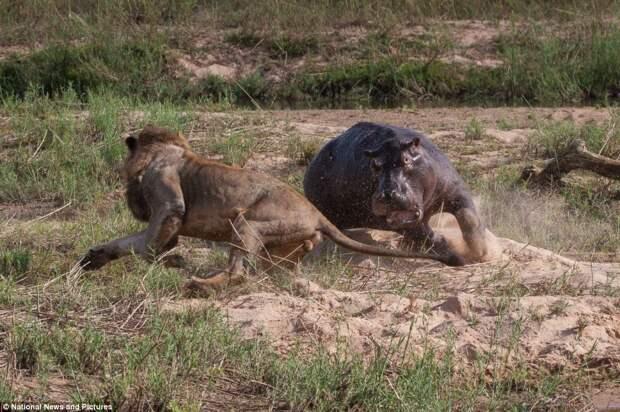 Жестокая природа: гиппопотам против львов