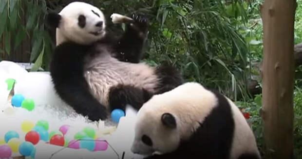 В Китае нашли способ, как охладить панд с помощью деревянных зонтиков и мороженого