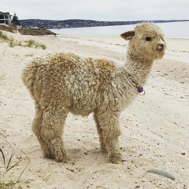 Первая прогулка на пляже Instagram, альпака, домашний питомец, животные, милота, фото