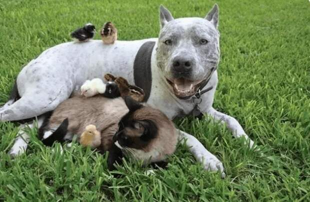 13 малоизвестных плюсов, позволящих завести себе собачку-питбуля