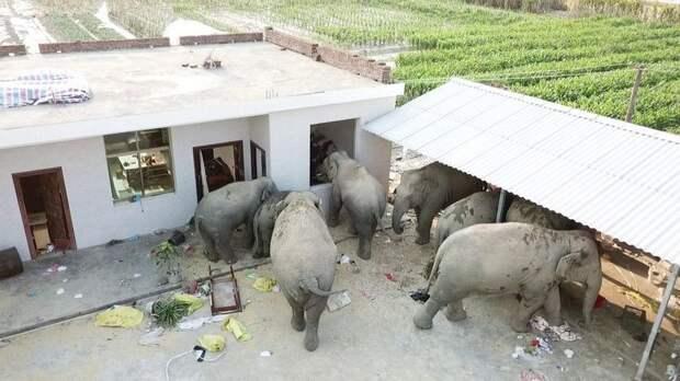 Слоны совершили набег на китайскую деревню, напились вина и вырубились неподалеку