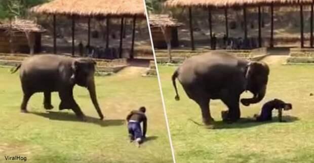Слон спешит на помощь опекуну, на которого, как он подумал, ″напали!″