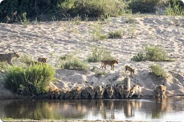 Уникальные кадры: Двадцать львов пришли на водопой…
