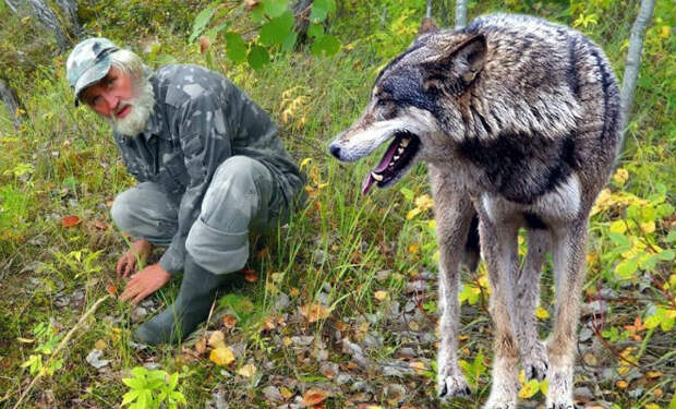 Грибник поднял глаза и замер: перед ним стоял волк. Зверь пришел просить помощи