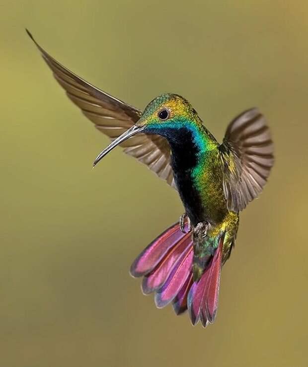 Колибри — единственная птица, которая может летать задом наперед