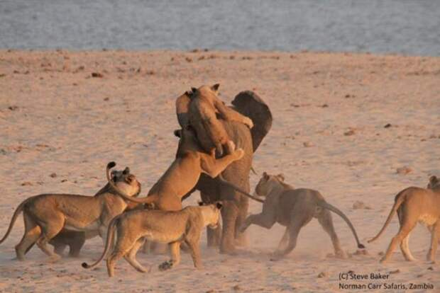 Слоненок,который отбился от 14 голодных львиц