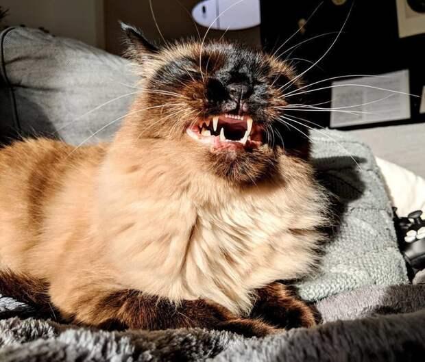 30+ умилительных фотографий чихающих котиков животные, котики, коты, милота, чихающие котики