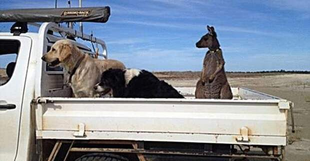 Спасённый человеческой семьёй малыш кенгуру считает себя собакой