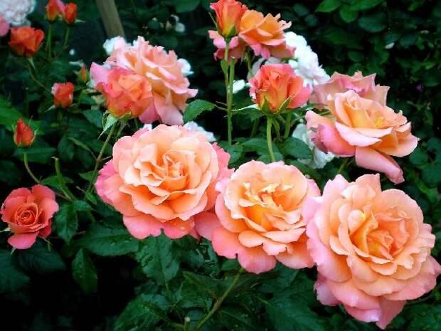 Плетистые розы.Все - от посадки и до... ч.1. Обсуждение на LiveInternet - Российский Сервис Онлайн-Дневников