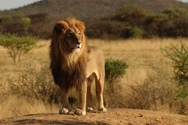 А бывает ли лев черным? Разоблачаем