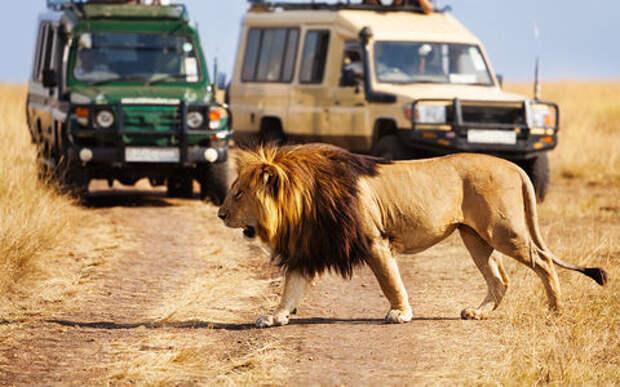 «Всем расслабиться!» Лев запрыгнул в машину к туристам