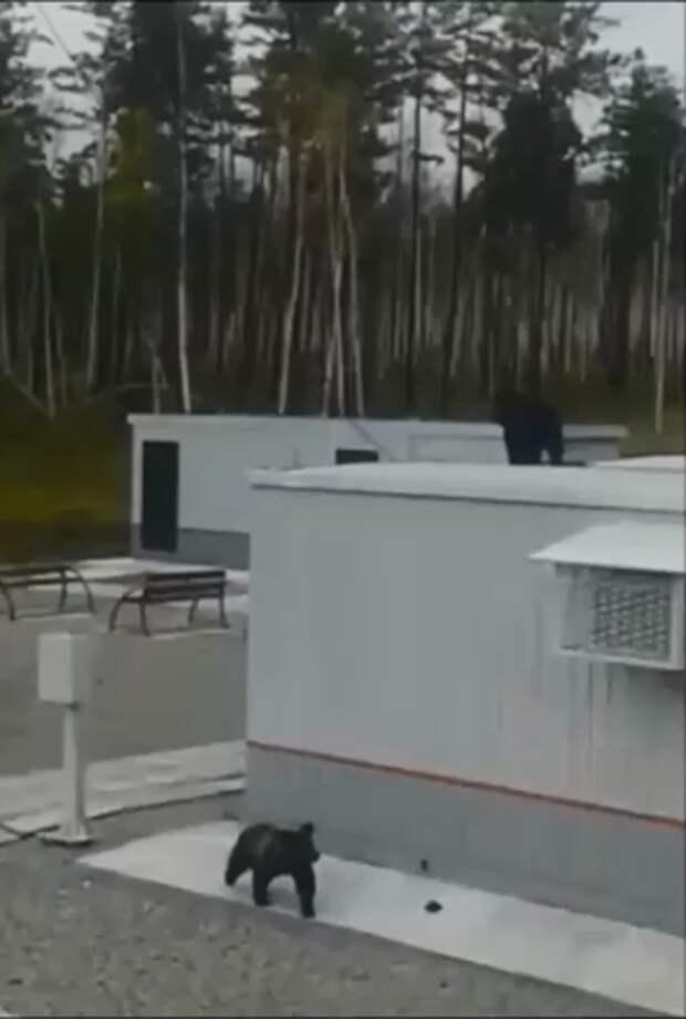 В Зейском районе железнодорожники спасали двух медвежат