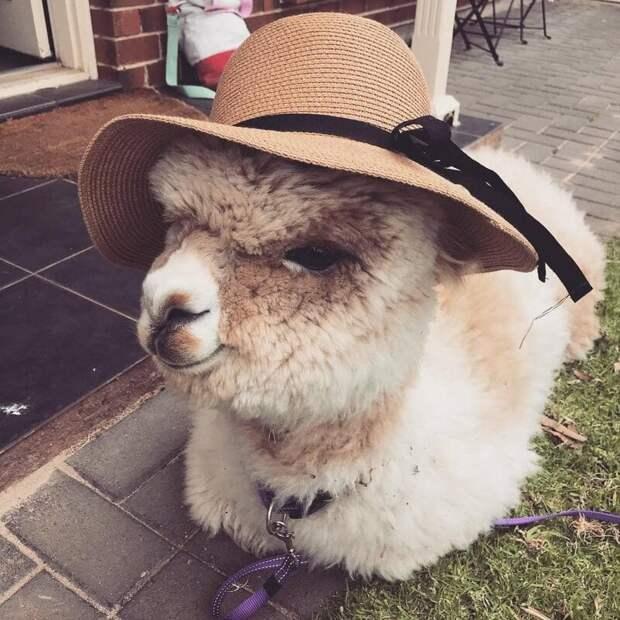 Это альпака Алфи, чья милота не знает границ Instagram, альпака, домашний питомец, животные, милота, фото