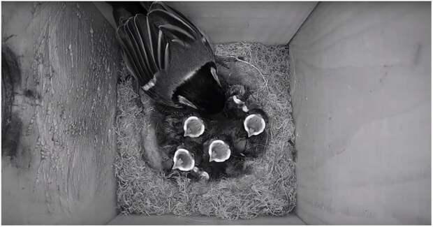 Два месяца из жизни семейства синиц за две минуты видео, животные, интересное, милота, птицы, синица, синицы, скворечник
