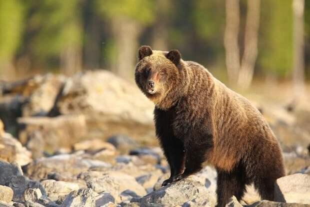 Байкальский медведь (фото: Михаил Тимофеев)